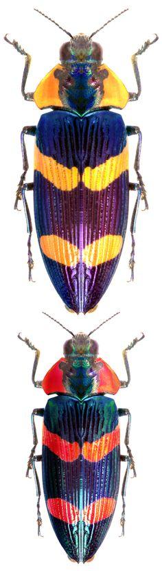 Calodema bifasciata female male