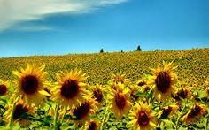 summer - Sunflowers Laptop Backgrounds, Yahoo Images, Image Search, Summertime, Plants, Calendar Ideas, Garden, Background Images, Pumpkin