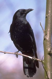 American Crows don't breed until they are at least two years old, but usually four or more. In most populations older offspring help their parents raise younger ones for a few years. Families sometimes include up to fifteen individuals, including young from five different years. Thirty-four American Crows were found in Central Park in this year's Bird Count.
