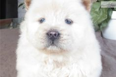 Chow Chow Puppy for Sale: AKC #99 (licensed by the State of Texas) - 9d909803-6ce1