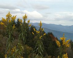 Yellow Goldenrod blooming at the Newfound Gap overlook at the Tennessee and North Carolina border in the Smoky Mountains. The smoky blue ridges and autumn foliage make a beautiful backdrop.