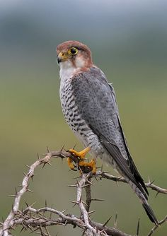 Red-necked Falcon (Falco chicquera) resident of India and sub-Saharan Africa