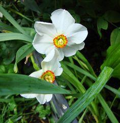 Narcissus 'Actaea' http://lefotodiluisella.blogspot.it/