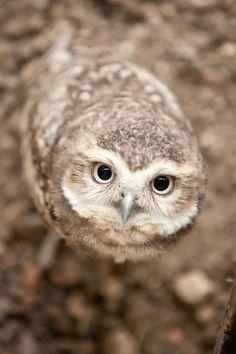 Burrowing Owl - Brown Bird