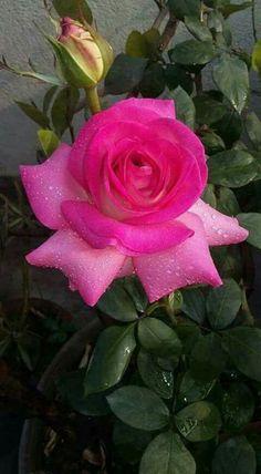...sublime encanto...°‿✿⁀Pink Rose‿✿⁀°