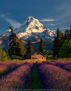 Mt. Hood and lavender fields (Oregon) by Greg Boratyn - Pixdaus