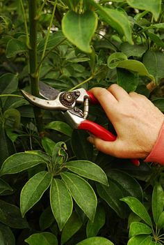 Schefflera needs pruning to stay in shape Prune scheffera just above a leaf, using bypass pruners fo Umbrella Plant Care, Umbrella Tree, Potted Plants, Garden Plants, Indoor Plants, Indoor Gardening, Pruning Plants, Snake Plant Care, Stand Up Paddle Board