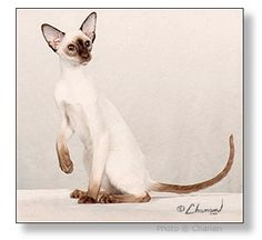 "GC, RW Ayuthaya Amoroso of Thaifong, DM   (""Rolo"")    Chocolate Point Male   Born August 31, 2001   Breeder: Susan Perkins   CFA's Best Siamese Kitten 2001-02 Show Season   CFA's 2nd Best Siamese 2002-03   Great Lakes Region's 13th Best Kitten 2001-02  & 7th Best Cat 2002-03"
