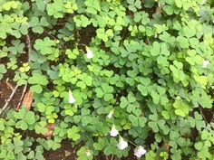 Clovers with tiny flowers...