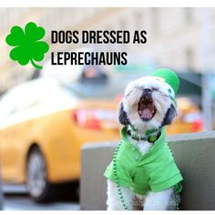 Dogs Dressed as Leprechauns for Saint Patricks Day!!