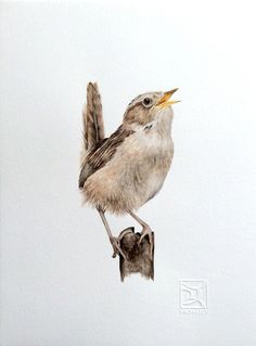 Chercán de las Vegas  Chilean bird Lorena Fröhlich Mohr Chile Bird Drawings, Cute Drawings, Birds And The Bees, Sparrows, Sketch Painting, Watercolor Bird, Woodland Animals, Bird Art, Bird Feathers