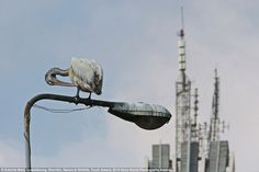 Contrasts: A pelican preens its fathers as it perches atop a corroded streetlight in front of the skyline of Colombo, Sri Lanka