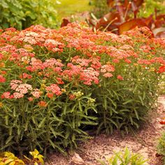 Achillea millefolium/Yarrow - Moonshine (yellow) or pink. Zone 3. 2 ft tall x 2 ft wide. Blooms late summer to early fall.  #medicinal