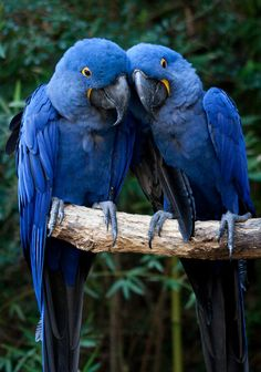 two in love hyacinth macaw parrots
