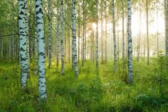 Birkenwald picture from the series Birch Forest by André Wagner, LUMAS Artist ✓ Birch Tree Art, Birch Forest, Tree Forest, Tree Tree, Tree Photography, Landscape Photography, Magic Forest, Aspen Trees, Online Art