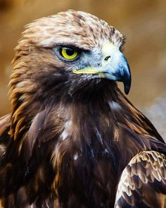 Best Free of Charge birds of prey eagle Popular As a wild birds associated with prey photographer, the key problem nearly all whine pertaining to will be the Eagle Pictures, Bird Pictures, Eagle Bird, Bald Eagle, Beautiful Birds, Animals Beautiful, Rapace Diurne, Animals And Pets, Cute Animals