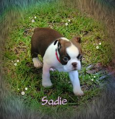Sadie is the daughter of my girl cricket and my boy Geno . She is being adopted by Betty B. in Alabama