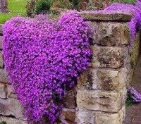 Aubrieta 'Whitewell Gem' has a ground-hugging habit and freely produces large, intense reddish-purple flowers.for several months.
