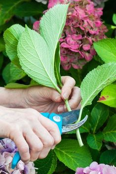 Container Gardening Ideas Leaf Pruning - Turn one healthy hydrangea plant into five, ten, or as many as your heart and garden desire with this easy method of propagation. Garden Shrubs, Lawn And Garden, Garden Plants, Garden Landscaping, Landscaping Ideas, Hortensia Hydrangea, Hydrangea Care, Hydrangea Plant, Propagating Hydrangeas