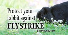 Protect your rabbit against Flystrike. Follow these tips to help keep those awful flies away from your bunnies.