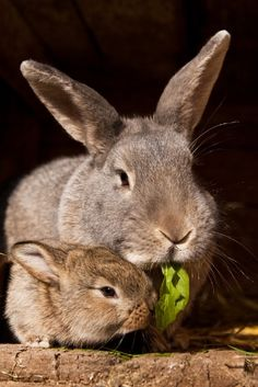 Mommy and baby bunnies