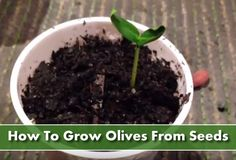 Growing Olive Trees From Seeds