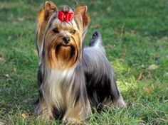 Yorkshire Terrier - The Yorkshire Terrier was developed in the north of England about the mid-19th century, chiefly for the job of controlling the rat population in the coal pits and cotton mills. It was also a featured combatant in rat-killing contests.