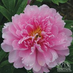 Plant Profile for Paeonia 'Impossible Dream' - Itoh Hybrid Peony Perennial