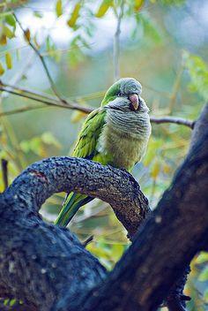 quaker parrots. awwwww!!! mine fluffs like that too!!! :)