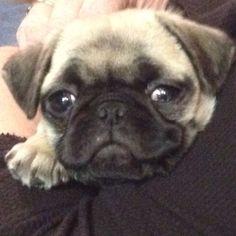 Spoiled smiling pug!