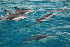 Dolfins near Kaikoura, New Zealand