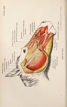 The anatomy of the horse : a dissection guide