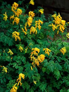 Yellow Corydalis...longest blooming shade perennial...spring through frost. I need to plant some of this!