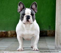 My father!  @loganbulldogg Blue French Bulldog Bulldog , french , Instagram , puppy , blue