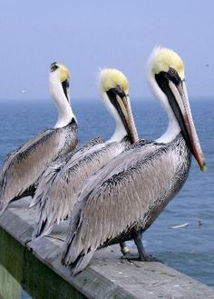 Pelicans-If I could be a bird, I would definately be a pelican!