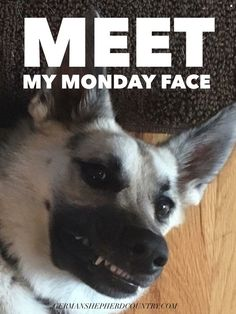 Nailed it! Fur kid loved by Michael Sayward Monday German Shepherds, German Shepherd Dogs, Monday Face, Monday Humor, Monday Blues, Four Legged, Happy Monday, Pup, Funny Pictures