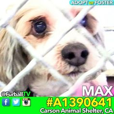 #SaveMAX - #A1390641 ❤️14 YR OLD CUTIE❤️ o  MAX is such a CUTIE-PIE SENIOR  (14 years young!). He came in as a stray and he's obviously very concerned about being in #CarsonShelter. We need to move quickly for MAX - the shelter is no place for a 14 year old FURBALL like him! Please spread the word - a foster or Adopter would save his life  o #ShihTzu o AGE:14 o Male (N) o ARRIVED:1/12 o #CarsonShelter - 310-523-9566  o 216 Victoria St. Gardena,CA 90248 o M-TH 12pm - 7pm, F-SU - 10am - 5pm