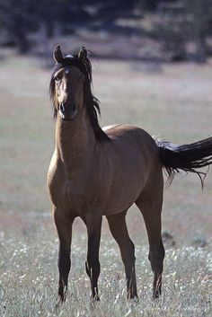 kiger stallion #animals #horses