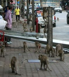 Monkeys of Lopburi in Thailand