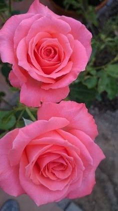 Two pink roses Beautiful Rose Flowers, Pretty Roses, Love Rose, Amazing Flowers, My Flower, Flowers Nature, Pretty Flowers, Beautiful Gardens, Pink Roses