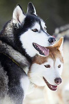 Siberian Huskies - So beautiful. I have always wanted one. Except FL is too hot for them.