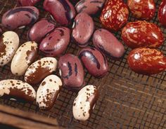 Heirloom Bean Varieties    Learn all there is to know about planting, harvesting and saving heirloom bean seeds as well as the history behind some of the rarest and oldest heirloom beans.