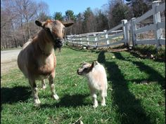 A Tiny One-Day Old Baby Goat Happily Leaps Around on His First Walk With His Mom