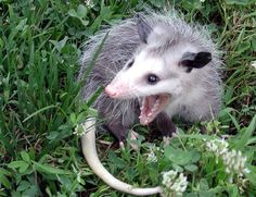 Funny Pictures Of Today Baby Animals, Funny Animals, Cute Animals, Cute Creatures, Beautiful Creatures, Nocturnal Animals, Opossum, Animal Sketches, Unique Animals