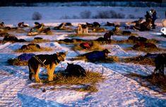 Dog sledding - bedding down for the night Yukon Quest, Winter Begins, Husky, Yukon Territory, Stone Fox, Pet Dogs, Doggies, Sled, Dog Life