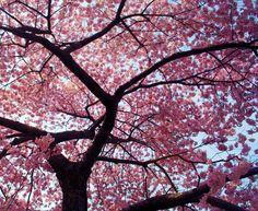 I want to go to Japan and see cherry blossom tress