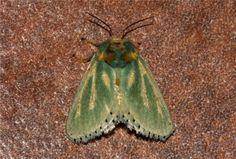https://flic.kr/p/jjtR1f | Coenobasis amoena (Rayed Slug) | Pretoriuskop rest camp, Kruger National Park, South Africa.