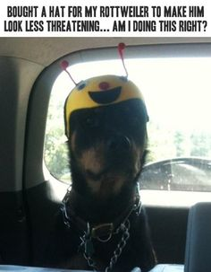 I Have Seen The Whole Of The Internet: Rottweiler In A Non-Threatening Hat