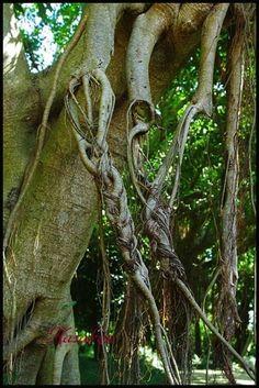 みつ編み状態の「がじゅまるの枝」 平成25年10月18日 「識名園」にて発見。  がじゅまるも思春期、可愛いですね〜〜〜〜  しまし見事に三つ編みになっています。これって自然にこの状態になったんでしょうか?それとも誰かが編んだとか? Naha, Okinawa, Garden Sculpture, Roots, Unique, Outdoor Decor
