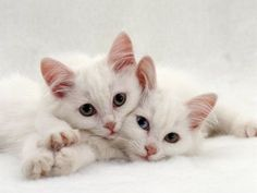 Two white kittens with blue eyes cuddling together on a white rug.